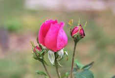 Beautiful pink white rose in a garden. Stock Photos