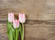 Beautiful pink and white tulips Stock Photo