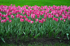 Beautiful pink and white tulips. pink tulips in the garden. Stock Photos