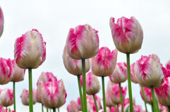 Beautiful pink and white tulips. pink tulips in the garden. Royalty Free Stock Photo