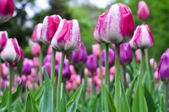 Beautiful pink and white tulips. pink tulips in the garden. Stock Image