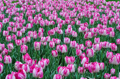 Beautiful pink and white tulips. pink tulips in the garden. Stock Images