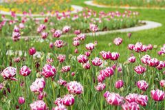 Blooming  Tulips in a Spring Garden with Backlit Royalty Free Stock Images