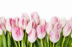 Beautiful pink and white tulips on wooden background Royalty Free Stock Photography