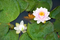 Beautiful pink and white waterlilies. In a pond Royalty Free Stock Photos
