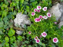 Beautiful pink and white wild flowers in grass and rocks. Natural scene stock photography