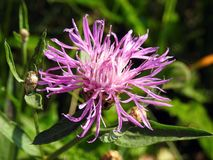 Beautiful pink wild flower cornflower on green background, Lithuania Royalty Free Stock Image