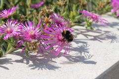 Beautiful pink wildflowers and bumblebee stock photos