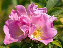 Beautiful pink and yellow flower of dog-rose Stock Image