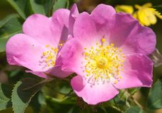 Beautiful pink and yellow flower of dog-rose Stock Photos