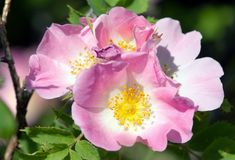 Beautiful pink and yellow flower of dog-rose Royalty Free Stock Photo
