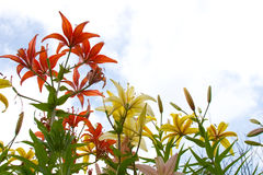 Beautiful pink and yellow lilies. Against the sky and sunlight Stock Photo