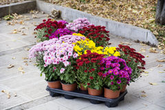 Beautiful pink and yellow pot chrysanthemums on the street Stock Photography