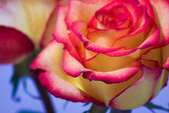 Beautiful pink and yellow rose closeup Stock Image