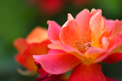 Beautiful pink yellow rose in the garden royalty free stock photography