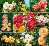 Beautiful pink and yellow roses, collection Stock Image