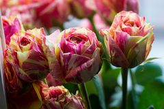 Beautiful pink-yellow roses flowers Stock Images