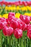 Beautiful pink and yellow tulips Stock Photos