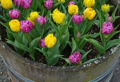 Pink and yellow tulips planter Stock Image