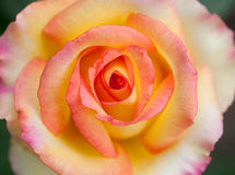 Beautiful pink yellowish rose Royalty Free Stock Images