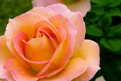 Beautiful pink yellowish rose in a garden. Stock Photography