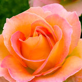 Beautiful pink yellowish rose in a garden. Royalty Free Stock Photography