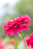 Beautiful pink zinnia flower. Royalty Free Stock Images