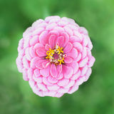 Beautiful pink zinnia Stock Photo