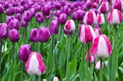 Beautiful pinkand white tulips. pink tulips in the garden. Stock Photo
