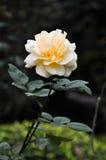 Beautiful pinkish rose Stock Photo