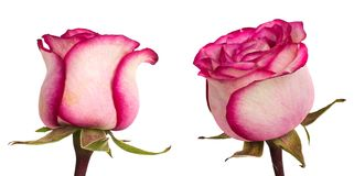 Beautiful pinkroses Royalty Free Stock Image