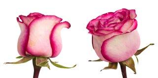 Beautiful pinkroses Royalty Free Stock Image
