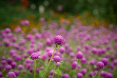 A sea of pink flowers stock photos