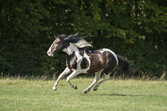 Beautiful pinto horse at gallop Stock Photography