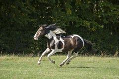 Beautiful pinto horse at gallop Stock Photography