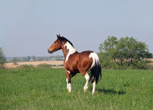 Beautiful pinto horse on summer meadow Stock Image