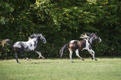 Beautiful pinto horses at gallop Royalty Free Stock Photo