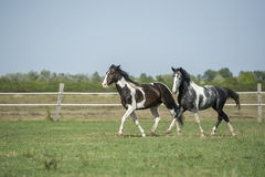 Beautiful pinto horses at gallop Royalty Free Stock Images