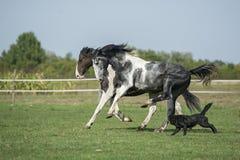 Beautiful pinto horses at gallop Royalty Free Stock Image