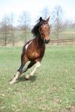 Beautiful pinto stallion running away