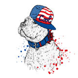 A beautiful pit bull in a cap. Vector illustration. A thoroughbred dog in clothes. Stock Photography