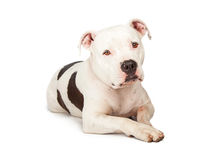 Beautiful Pit Bull Dog Sad Expression. A cute adult Pit Bull breed dog laying down and looking forward into the camera with a sad expression Royalty Free Stock Photos