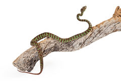 Beautiful Pit Viper Crawling Up Branch Royalty Free Stock Image