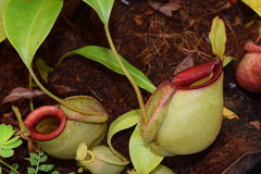 Beautiful pitcher carnivorous plant pot in Vietnam Royalty Free Stock Images