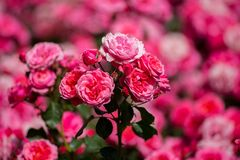 The rose garden found in Spain. Beautiful place to relax on your vacation during summer time Royalty Free Stock Photos