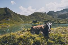 Cattle in the mountains stock photos