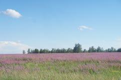 Beautiful places of the globe, Baikal. Beautiful places of the Baikal region, fields with soft pink flowers Royalty Free Stock Photo