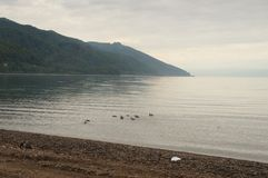 Beautiful places of the globe. Of beautiful calm mysterious lake Baikal, a family of ducks swim and frolic in the water Royalty Free Stock Photo