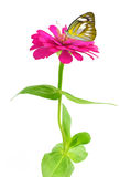Beautiful Plain butterfly on flower. Beautiful Plain butterfly on red rose flower  on white background Stock Photo