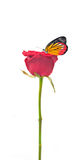 Beautiful Plain butterfly on red rose flower. On white background Royalty Free Stock Photo